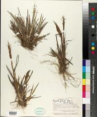 Image of Agrostis foliata