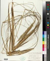Image of Ammocalamagrostis baltica