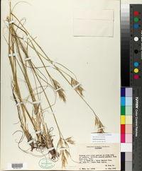 Danthonia parryi image