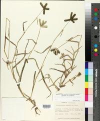 Dactyloctenium aegyptium image