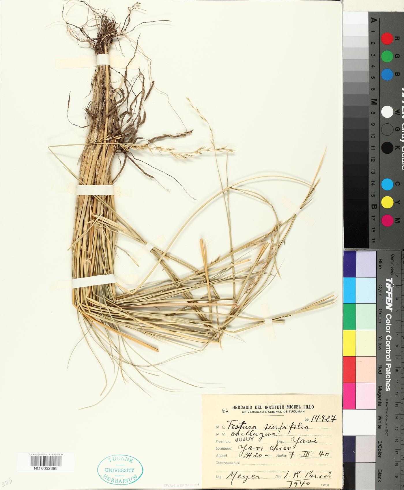 Festuca scirpifolia image