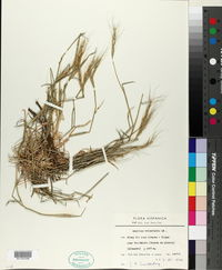 Aegilops triuncialis image