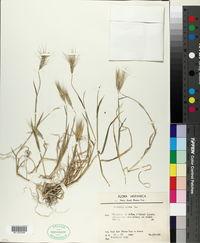 Aegilops geniculata image