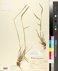 Image of Elymus scabrifolius