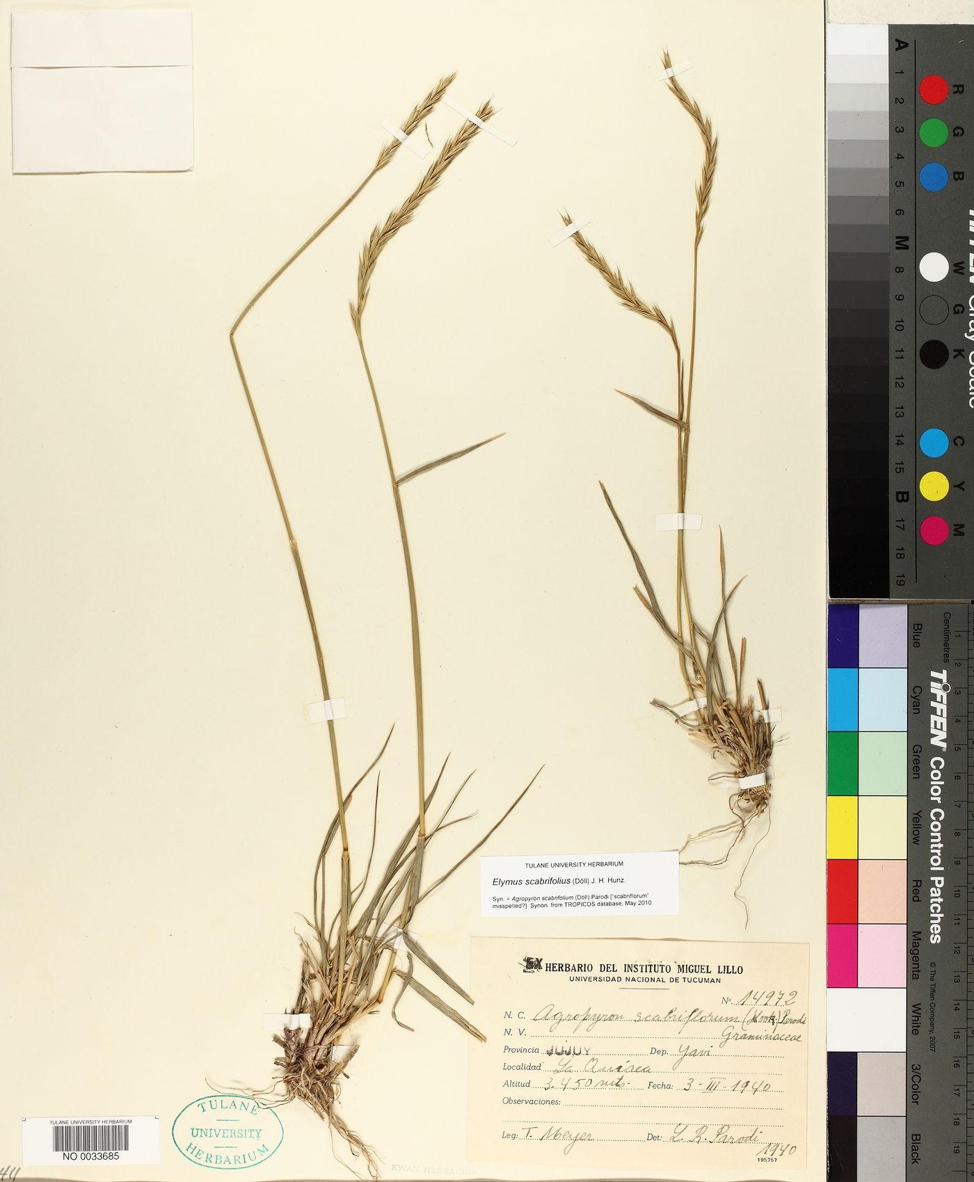 Elymus scabrifolius image