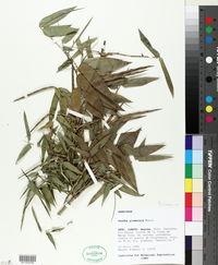 Image of Guadua glomerata