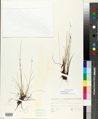 Image of Isolepis habra