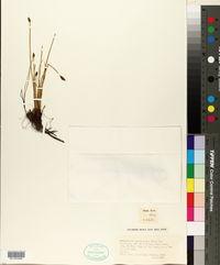 Eleocharis multicaulis image