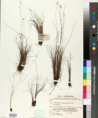 Image of Bulbostylis fasciculata