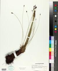 Schoenus ferrugineus image