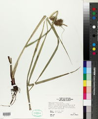 Carex louisianica image