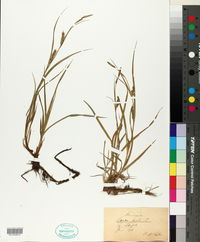 Carex hirta image