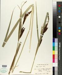 Carex riparia image