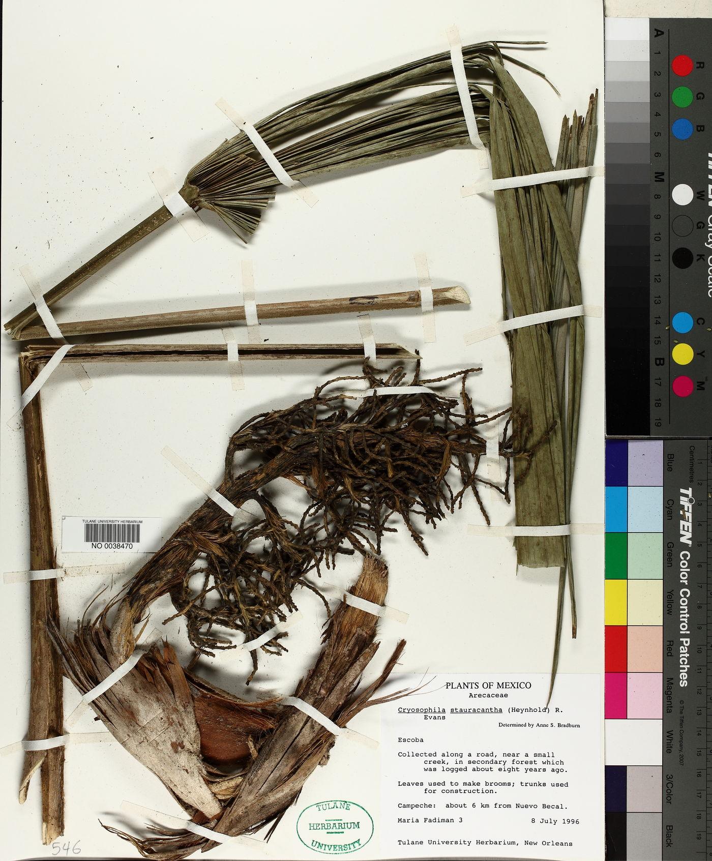 Cryosophila image