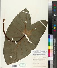 Colocasia esculenta image
