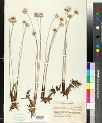 Image of Actinocephalus incanus