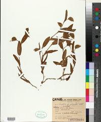 Image of Commelina platyphylla