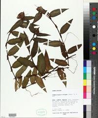 Image of Commelina rufipes