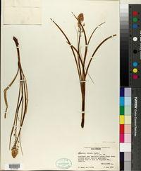 Image of Zigadenus falcatus