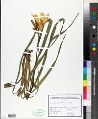 Image of Hemerocallis middendorffii