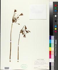 Agapanthus orientalis image