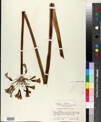 Image of Agapanthus pendulus