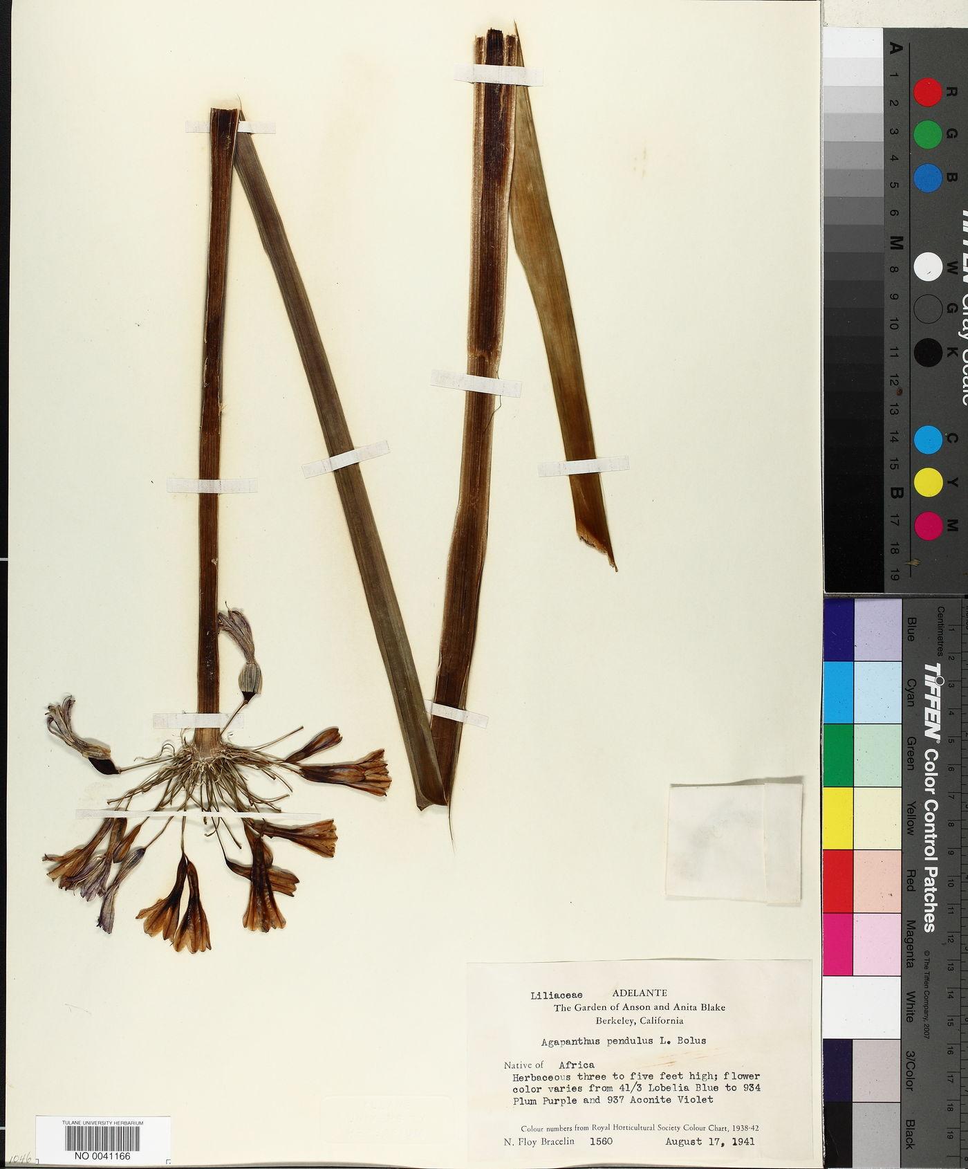 Agapanthus pendulus image
