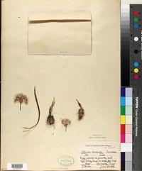 Allium burlewii image