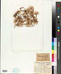Image of Allium peirsonii