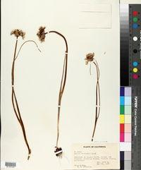 Allium sanbornii image