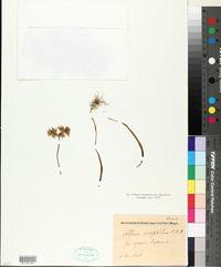 Image of Allium oreophilum