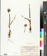 Image of Allium monadelphum