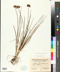 Image of Allium gracile