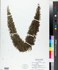 Asparagus densiflorus image
