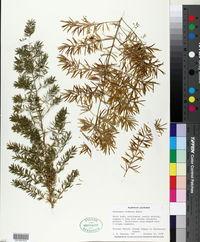 Asparagus plumosus image