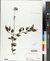 Image of Viburnum ashei