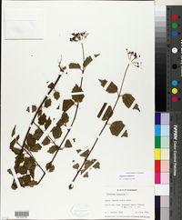 Viburnum ashei image