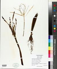 Hymenocallis americana image