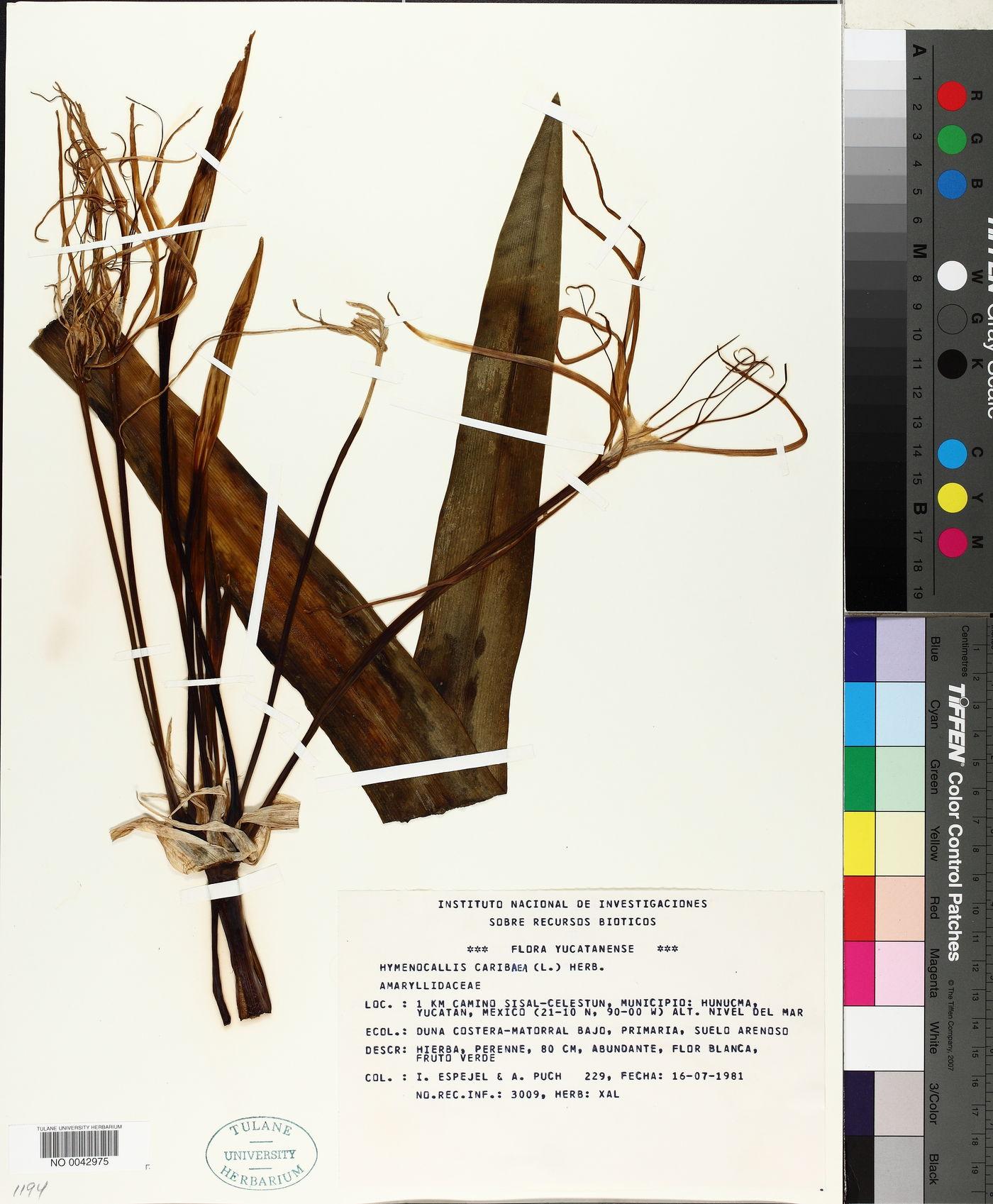 Hymenocallis caribaea image