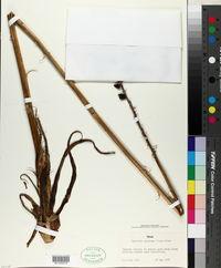 Agave maculata image