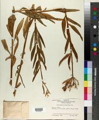 Alstroemeria aurantiaca image