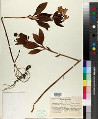 Alstroemeria inodora image