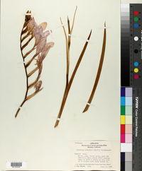 Gladiolus colvillei image
