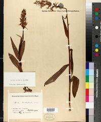 Image of Dactylorhiza urvilleana