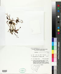 Image of Acianthus amplexicaulis