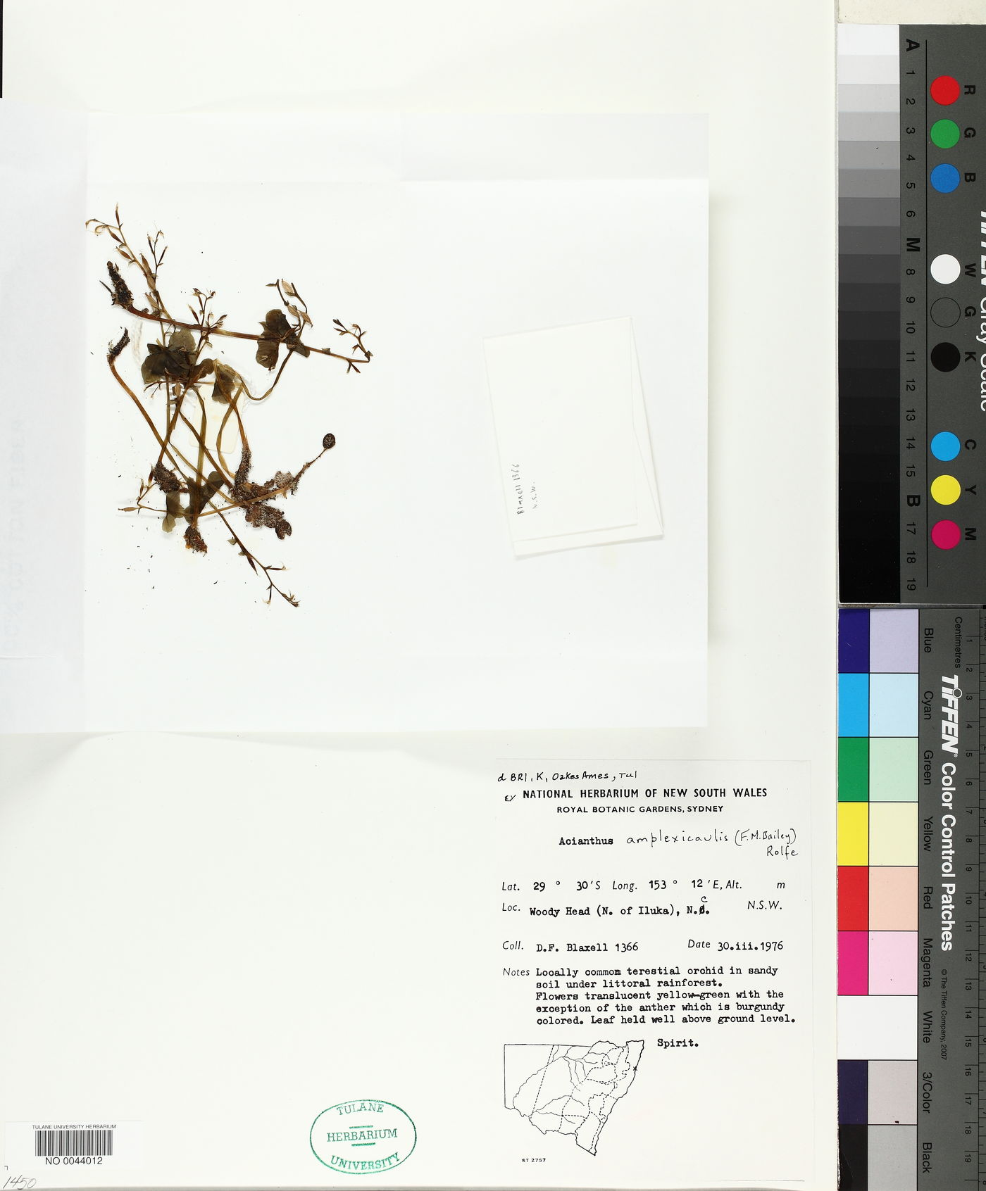 Acianthus amplexicaulis image