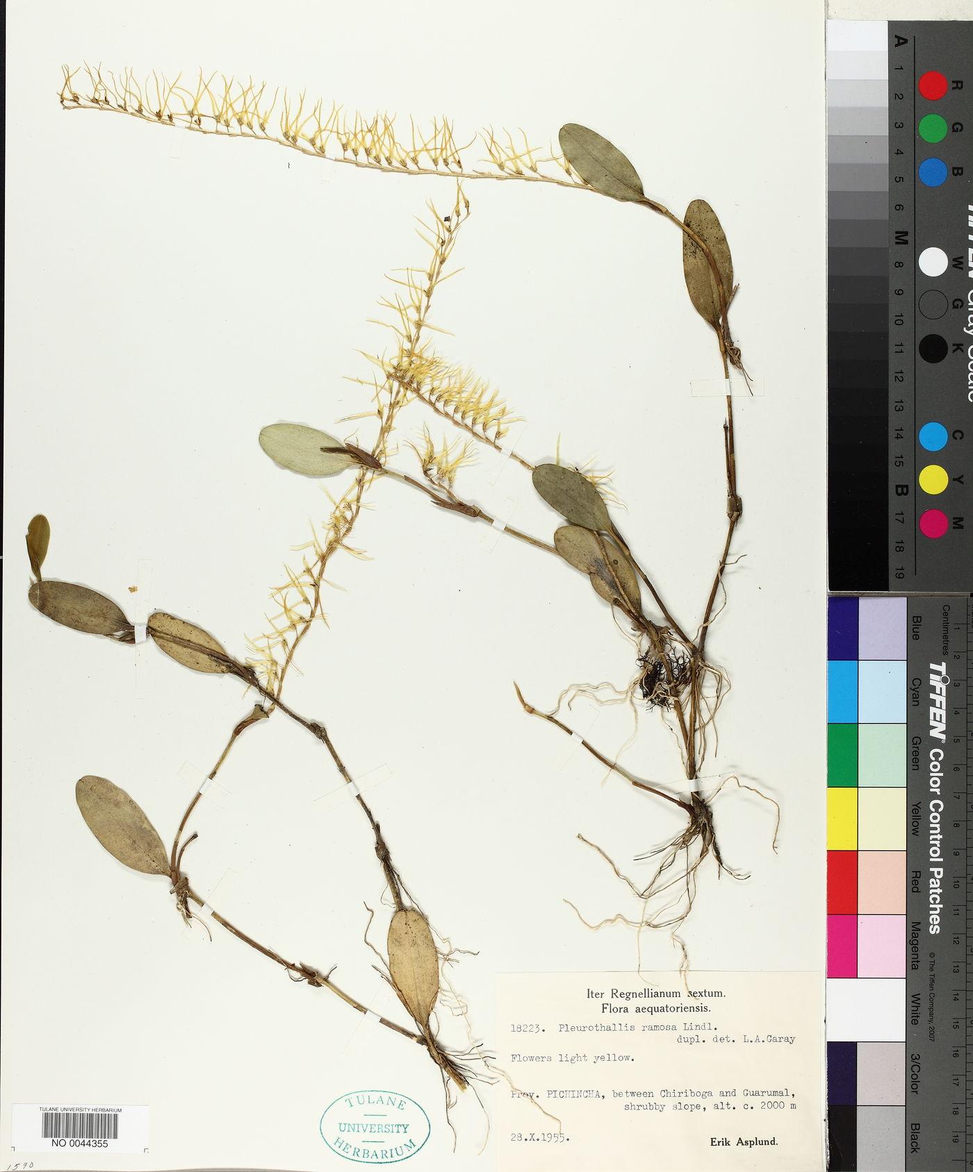 Acianthera ramosa image