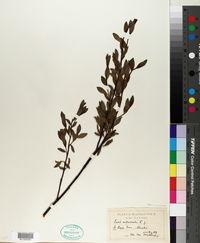Salix arbuscula image