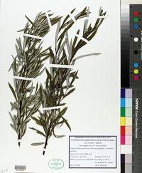 Salix eleagnos image