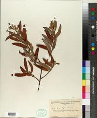 Salix lasiolepis image